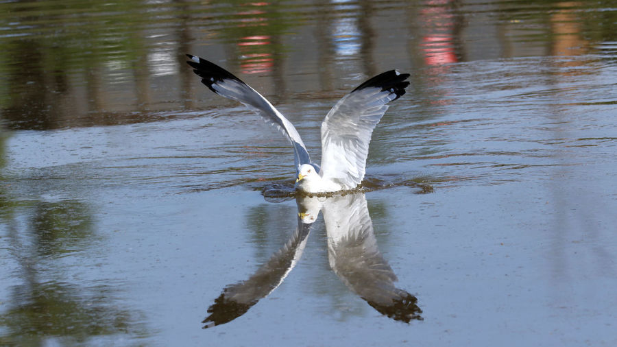 """""""X"""" EyeEm Best Shots EyeEm Nature Lover EyeEm Gallery Animal Animal Themes Animal Wildlife Animals In The Wild Bird Day Eye4photography  Flapping Flying Lake Nature No People One Animal Reflection Ring-billed Gull Spread Wings Swimming Vertebrate Water Water Bird Waterfront White Color"""