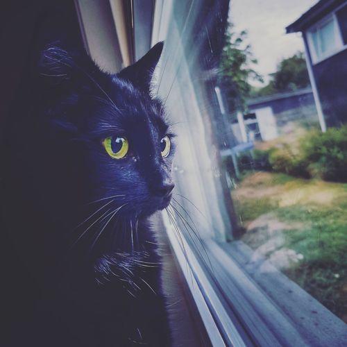 Pets Portrait Domestic Cat Feline Window Looking At Camera Close-up