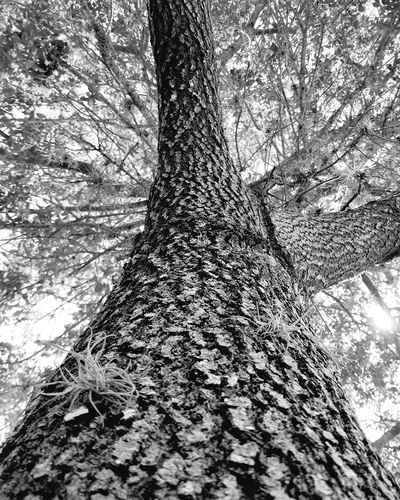 Tree Day Nature Tree Trunk Growth High Angle View Outdoors Branch Beauty In Nature Close-up Airplants Treebark Detailed Treebark Blackandwhite Photography No People Floridaoaktree Limbs