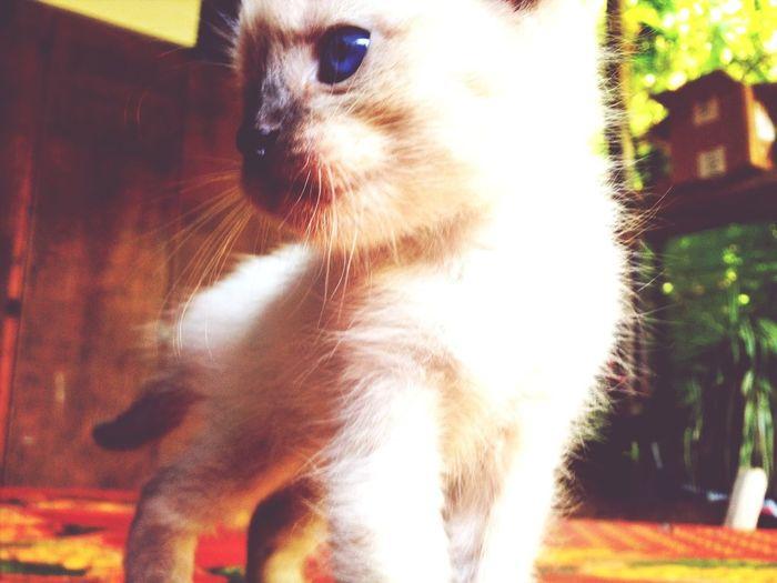Kitty Gattino Miao Pussycat