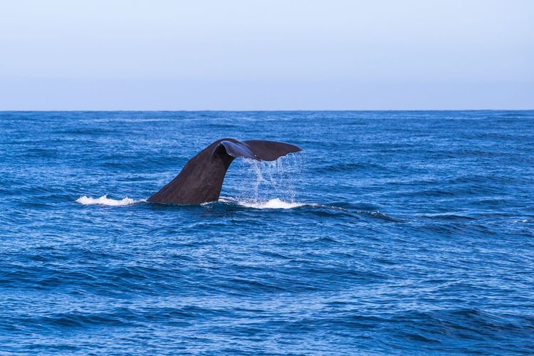 Newzealand Sea Water Nature Animals In The Wild Horizon Over Water One Animal No People Animal Themes Whale Waterfront Scenics Blue Sea Life Outdoors Beauty In Nature Animal Wildlife Humpback Whale Clear Sky