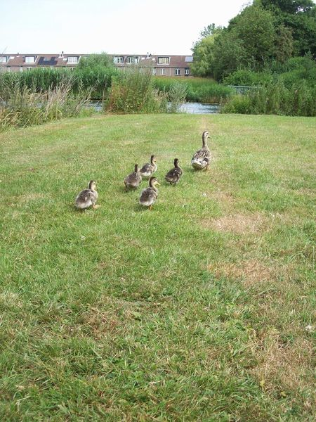 Animal Animal Family Animal Themes Animal Wildlife Animals In The Wild Bird Day Duck Field Goose Gosling Grass Green Color Group Of Animals Landscape Large Group Of Animals Nature No People Outdoors Vertebrate