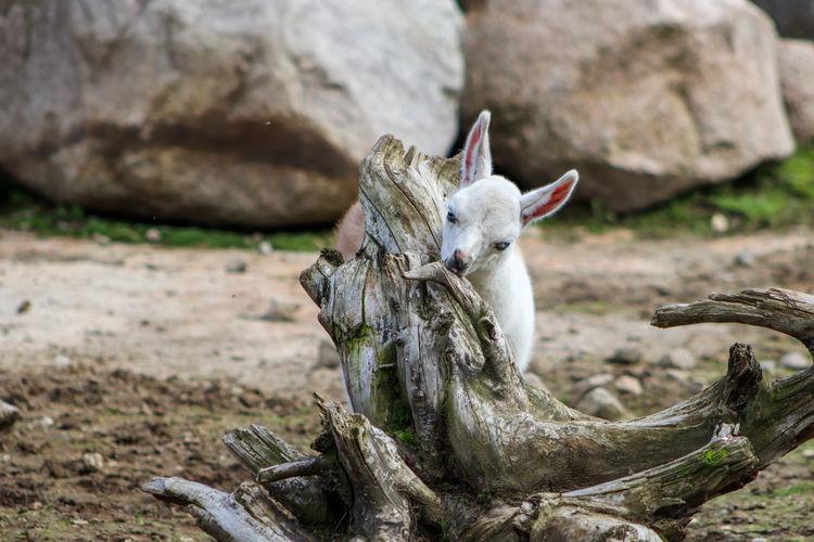A baby Llama