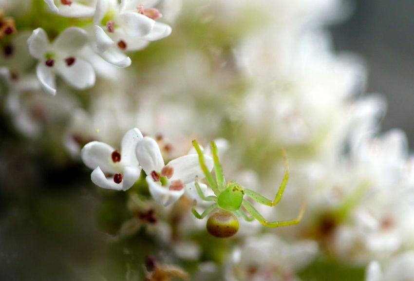 A Flower Spider going about its business amongst the flower blooms Australian Green Macro Photography Spider Beauty In Nature Blooming Blossom Close-up Day Flower Flower Head Flower Spider Fragility Freshness Growth Insect Legs Miniscule Flower Nature No People Outdoors Plant Selective Focus Tree White Color