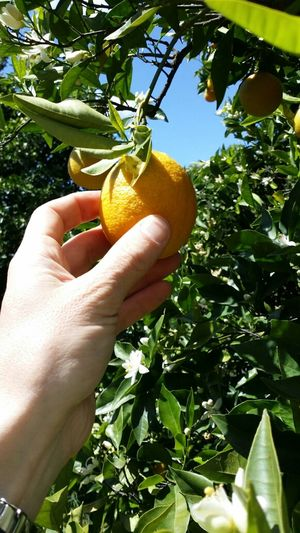 the Orange trees are ripe and blooming, incredible scent when driving through the Groves @ Palomar mountain, CA