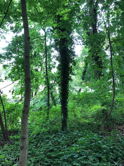 Ten Plant Species #ten Plant Tree Green Color Growth Land Beauty In Nature 10 Nature Lush Foliage No People Tranquility Forest Day Trunk Foliage Tree Trunk Low Angle View Scenics - Nature Outdoors Tranquil Scene WoodLand