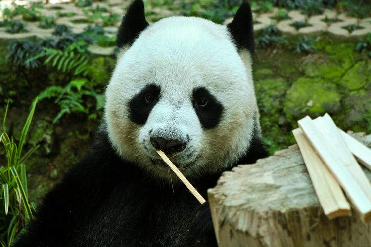 Close-up portrait of giant panda eating bamboo at zoo