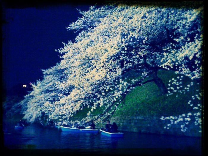 Relaxing Sakura Hanami 千鳥ヶ淵