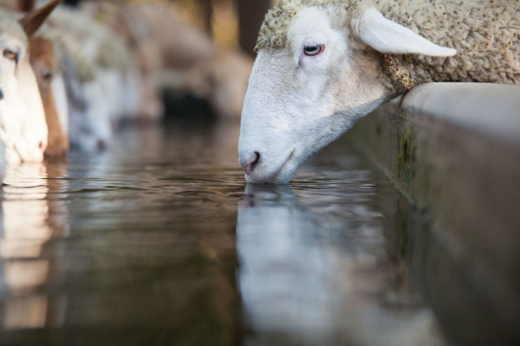 Close-Up Of Sheeps Drinking Water At Ranch