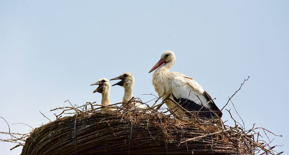 Stork Nest Bird Photography Animal Themes Birds_collection Animal Photography Family Portrait Stork Young Animal