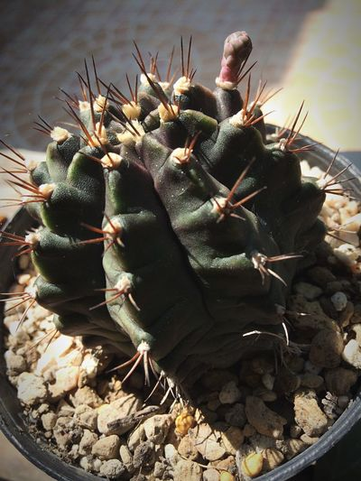 Castus Cactus Thorn Growth Spiked Nature Plant No People