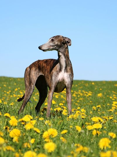 Dog standing on field against clear blue sky