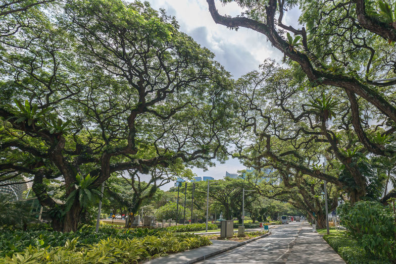 Grand old beautiful rain trees Rain Tree Beauty In Nature Branch Day Diminishing Perspective Direction Footpath Green Color Growth Nature No People Outdoors Park Park - Man Made Space Road Tranquil Scene Tranquility Tree Treelined The Great Outdoors - 2018 EyeEm Awards