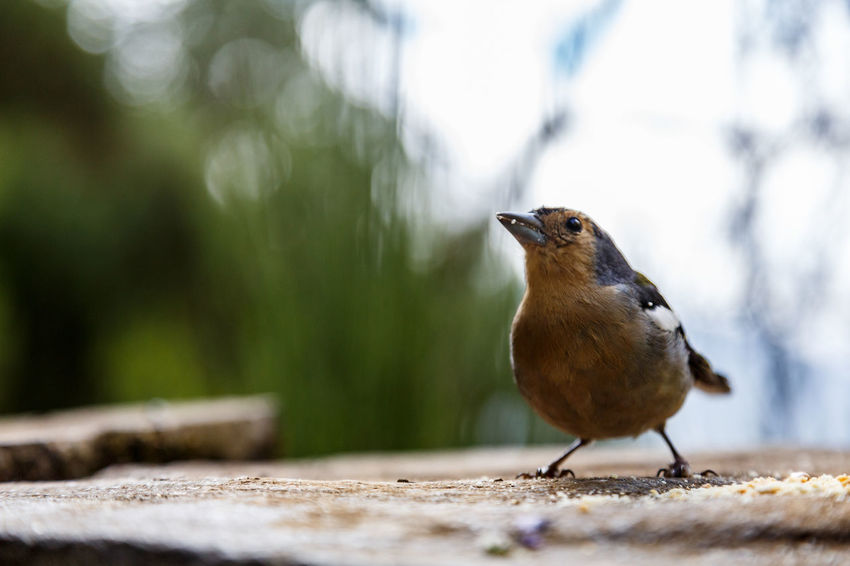 Animal Themes Animal Wildlife Animals In The Wild Bird Chaffinch Close-up Day Focus On Foreground Nature No People One Animal Outdoors Perching Robin Selective Focus Songbird  Sparrow
