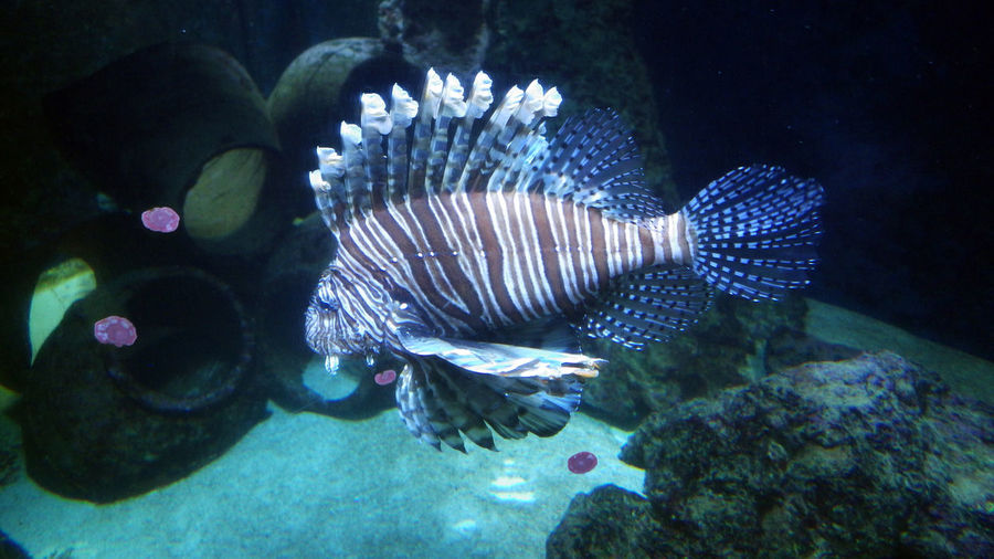Scorpion Fish Aquarium Life Amphoras In The Water Side View Swimming Underwater Water Animal Themes Close-up
