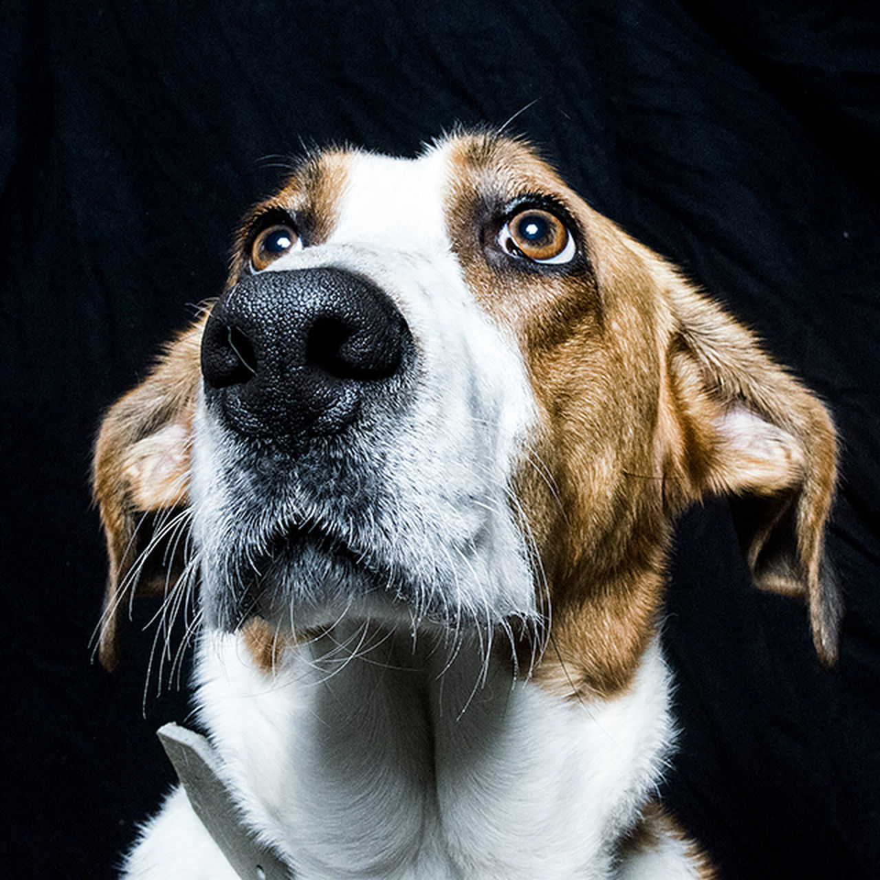 dog, pets, domestic animals, animal themes, mammal, one animal, no people, close-up, black background, day, indoors, beagle