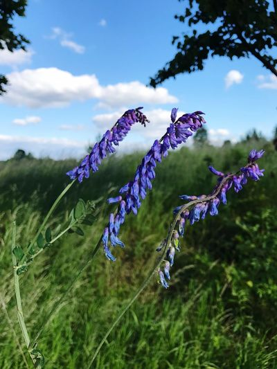Close-up of lavender flowers blooming on field against sky