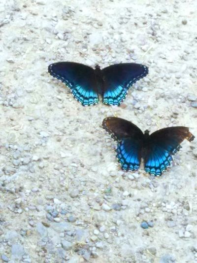 Butterflies Nature Photography Two Is Better Than One True Blue Kentucky  Simple Image Two Objects TakeoverContrast