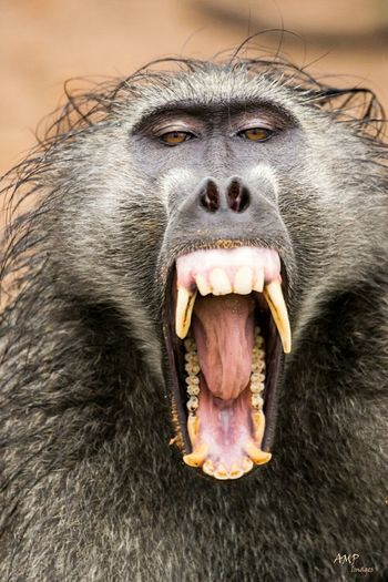 Baboon smile Taking Photos Africa Baboon Krugerpark Kruger Park