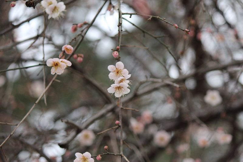 Ume Blossom Japanese Plum Blossom EyeEm Best Shots - Nature EyeEm Gallery EyeEm Best Shots - Flowers EyeEm Selects Plant Flower Flowering Plant Growth Fragility Tree Flower Head Blossom Vulnerability  Beauty In Nature Freshness Branch Close-up Day White Color No People Springtime Twig Sakura Cherry Blossom
