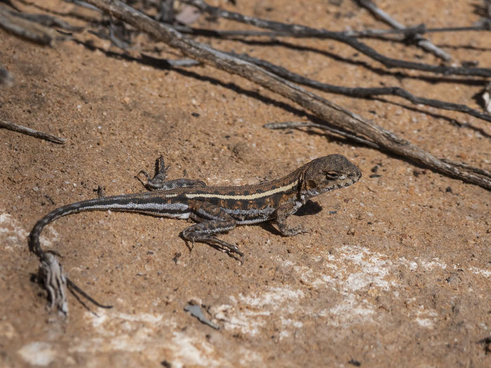 Mallee Military Dragon (Ctenophorus fordi) Mallee Military Dragon Animal Themes Animal Animal Wildlife Reptile One Animal Lizard Animals In The Wild Vertebrate No People Nature Land Desert Arid Climate Climate Day Outdoors Environment Zoology Selective Focus Gecko