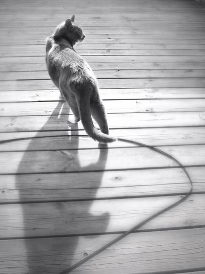 High angle view of cat walking on boardwalk