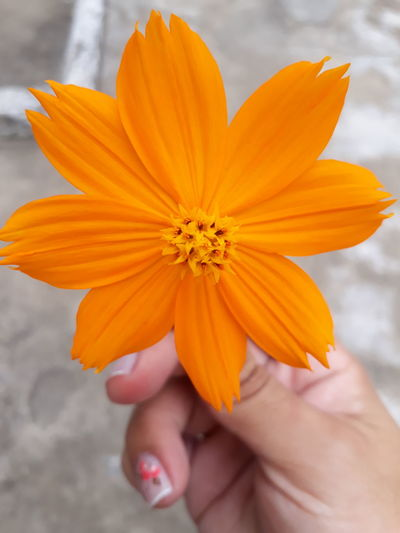 Orange EyeEm Selects Flower One Person Human Body Part Flower Head Petal Outdoors Human Hand People Close-up Day Nature Adults Only Beauty Beauty In Nature Freshness Fragility