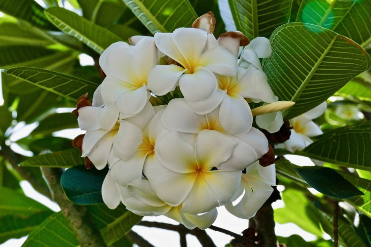 white fragrant frangipani flowers at the tree - weiße, duftende Plumeria- Blüten Beauty In Nature Blooming Close-up Flower Flower Head Fragment Flower Fragrence Frangipani Flower Frangipani Tree Freshness Growth Leaf Nature No People Outdoors Petal Plant Plumeria Blossoms Plumeria Flowers Tree Tropical Plants White Color White Frangipani