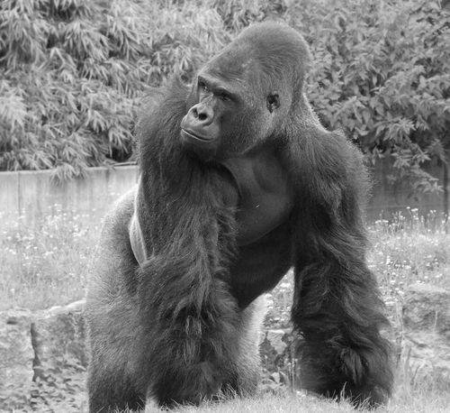 Silverback Gorilla Silverbackgorilla