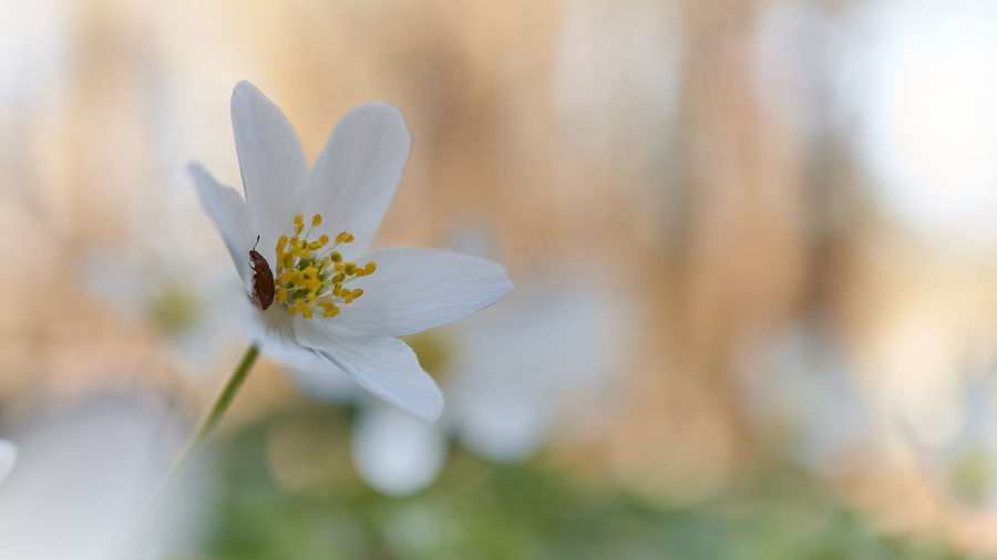 Flower Flowering Plant Plant Vulnerability  Freshness Fragility Beauty In Nature Growth Close-up Petal Inflorescence Nature Flower Head White Color Focus On Foreground Pollen No People Day Outdoors Selective Focus Springtime Softness My Best Photo
