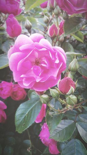 Beautful Newphoto Cute In Touch With Nature LoveFlower🌺 Beauty In Nature Insparation Roses Rose🌹 Pink Rose Pink Hot Pink