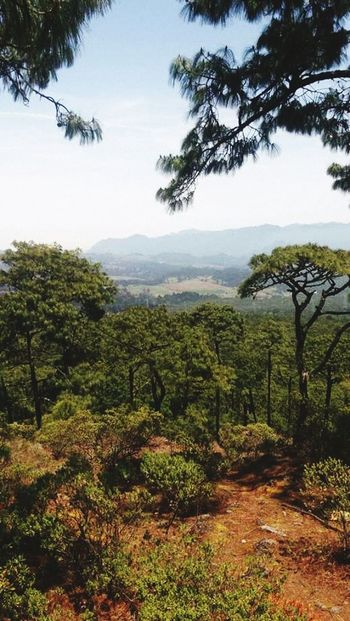 Volcancillo Forest Nature Nature_collection Pine Trees Landscape Forest Forest Hills Forest Trees Forest View EyeEm Nature Lover EyeEm Gallery Sunny Day Peaceful And Quiet