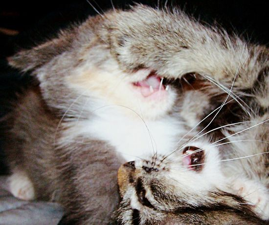 Kittens Fighting Cat Fight Cats Playing Cats Roseville, CA