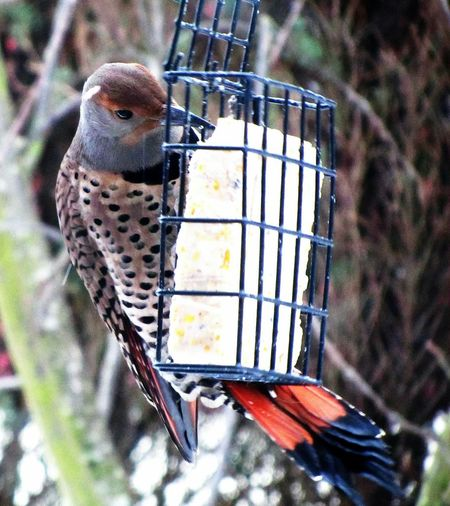 Nature NorthernFlicker Jusyoutside