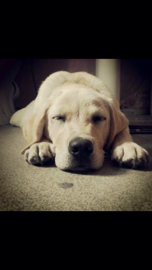 Labrador puppy napping Dog Labrador Retriever Yellow Dog  Cute Cute Pets First Eyeem Photo