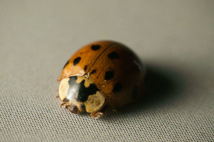 Ladybug means lucky in my country and it is a really cute insect, doesn't it? Animal Themes Close-up Composition Detail Insect Ladybug Lucky Macro Nature Macro Photography Macroclique Spotted Wildlife