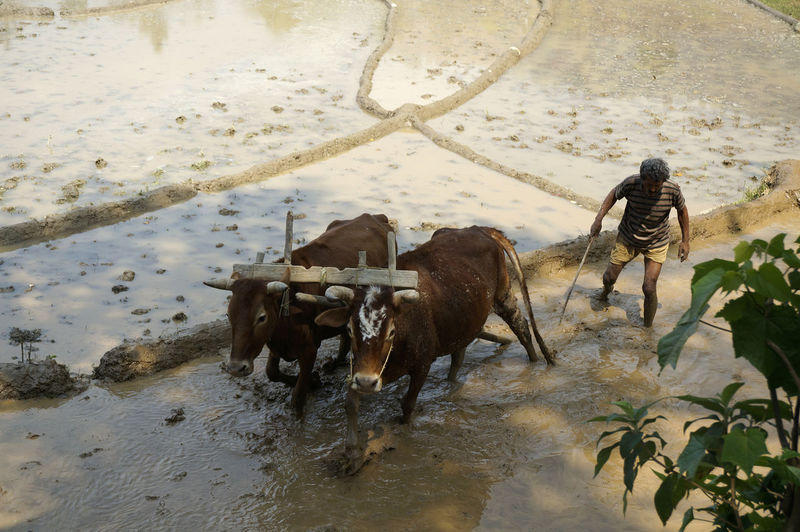 Plowing in Nepal Animal Themes Day Domestic Animals Livestock Mammal Nature Nepal Outdoors Plow Plowed Field Rice Paddy Water