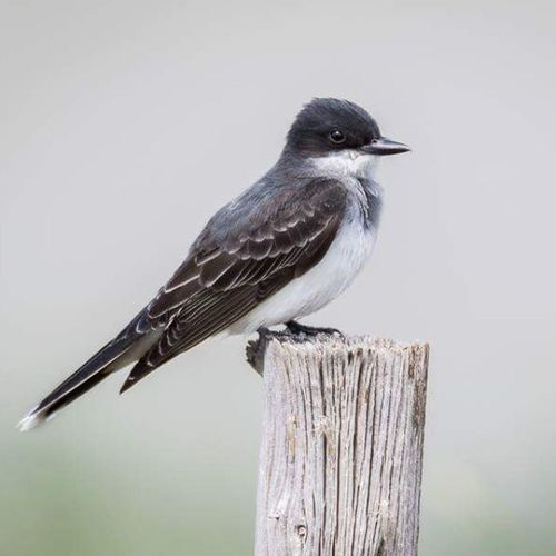 Eastern Kingbird perched on a wooden post. Easternkingbird Bird Utah Wild Utbirders Utbird Igbirds Nature
