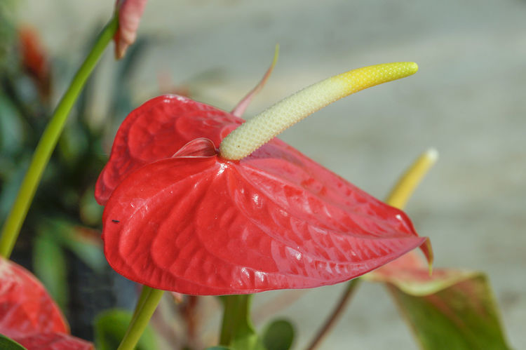 Flowers in the plots in Chiang Rai, Thailand Anthurium Flowers Beauty In Nature Blooming Close-up Day Flower Flower Head Focus On Foreground Fragility Freshness Growth Nature No People Outdoors Petal Plant Red Water Wet