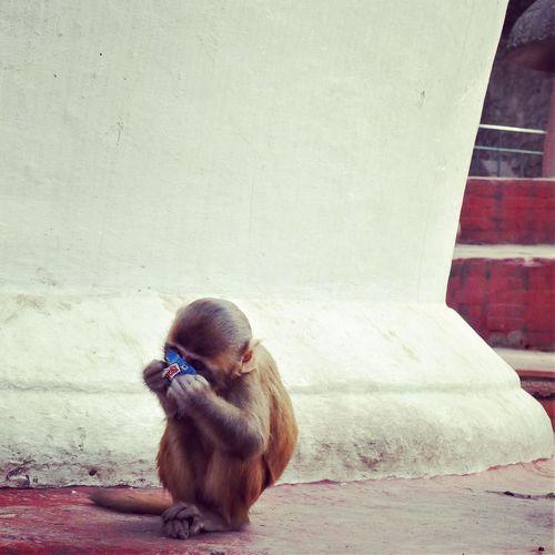 hungry monkey Nepal Monkeytemple Animal Monkey Cute Traveling Travels Wanderlust Outside Beautiful No People Day