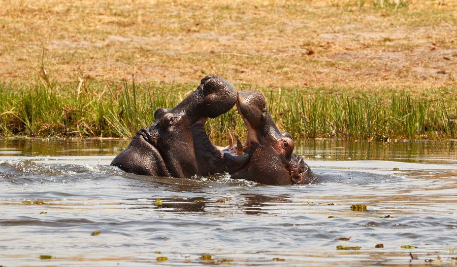 Hippopotamus Fighting In Pond