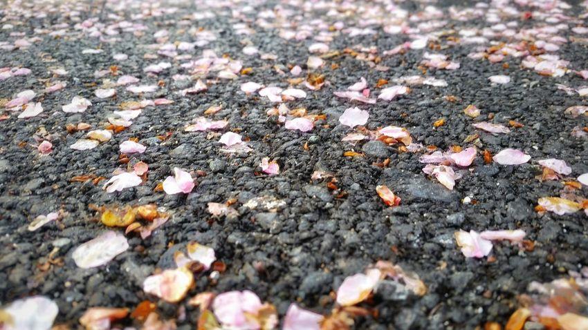 Asphalt Flowers Asphalt Cherry Blossoms Cherry Blossom Cherry Blossoms On The Asphalt Flowers Pink Flower Pink Flowers Fall