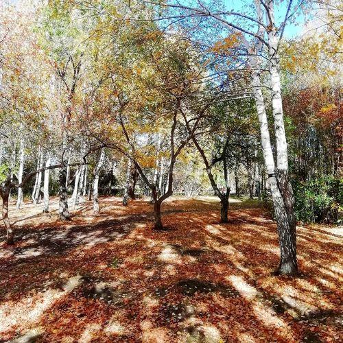 Осень Tree