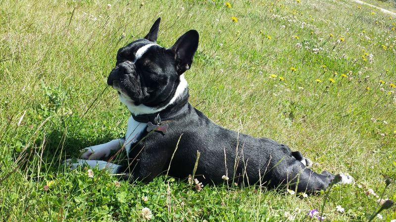 Dog Pets One Animal Animal Themes Domestic Animals French Bulldog Grass Bulldog Mammal No People Outdoors Day Sitting Full Length Boston Terrier Nature Looking At Camera Pet Portraits Dogs Of EyeEm Animal Doméstico Dog Love Mascotas 🐶 Dog❤ Dogs Bulldog Français