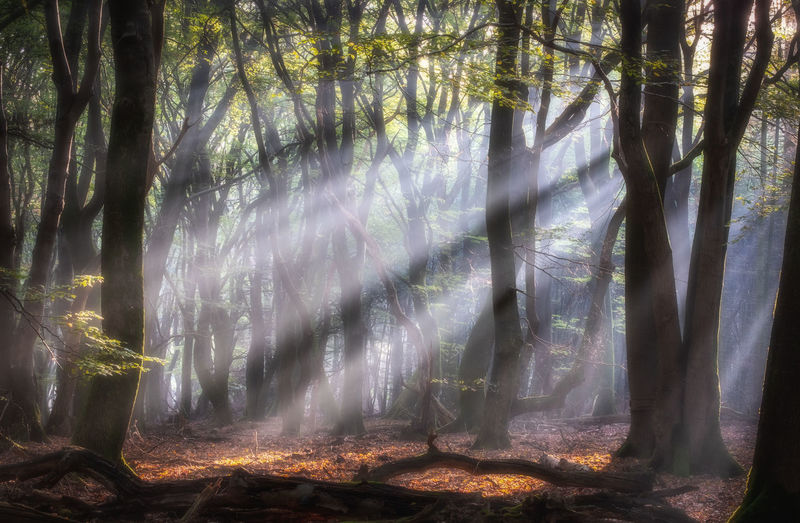 Autumn morning at the Speulderbos forest in The Netherlands. Autumn Sunrise Morning Sunlight Tree Trees Sunrays Wood Woods Speulderbos Ermelo Veluwe Netherlands The Netherlands Holland Dutch Plant Forest WoodLand Nature