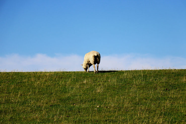 Adult sheep grazing in green pastures with sky background