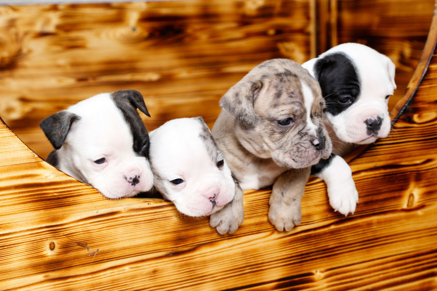 Dog Pets Pet Animal Puppy Cute Young Animal Studio Shot Grow Animal Photography Babydog Oldenglishbulldogs Oldenglishbulldog Old English Bulldog Animal Themes EnglishBulldog Love My Dog  Bestfriend Playing Sweet OEB No People Indoors  Domestic Animals