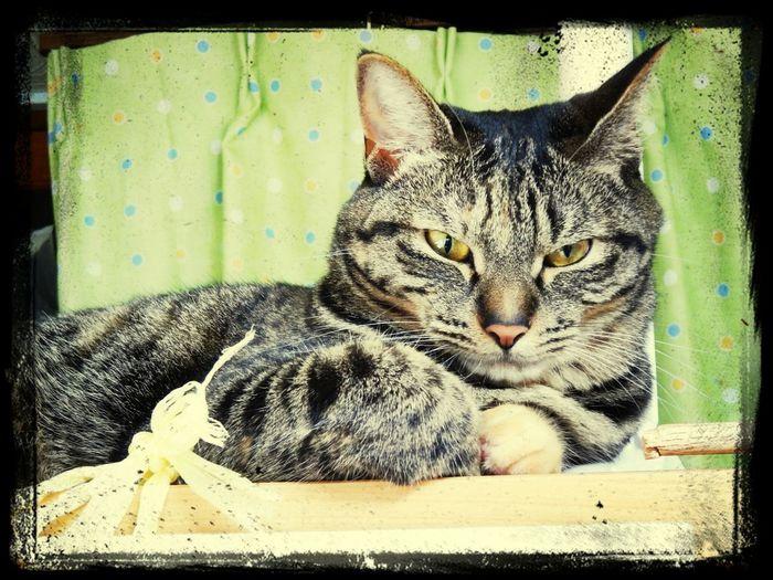 クールねこ Cat