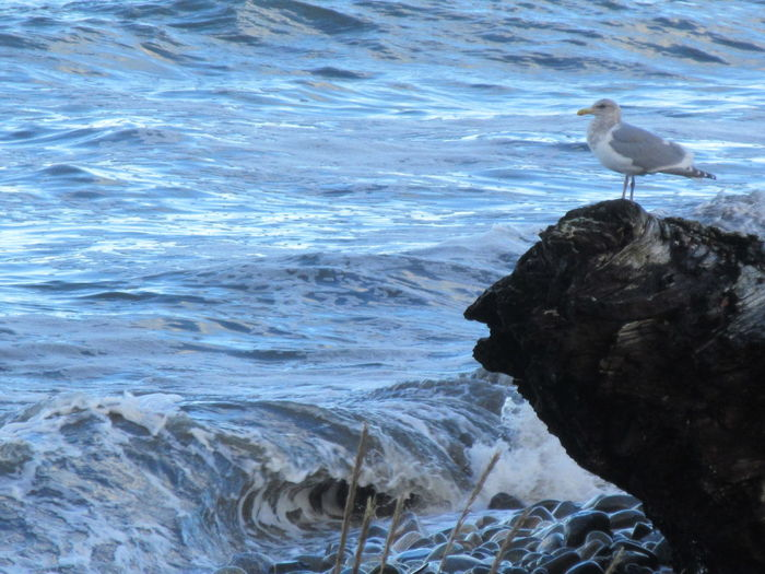 Wave Guard Ocean View Salish Sea Sea Gull Strait Of Juan De Fuca Beach Beach Waves Beach Waves Ocean Beauty In Nature Gull Motion Nature Ocean Ocean Scene Outdoors Sea Seagull Water Wave Waves
