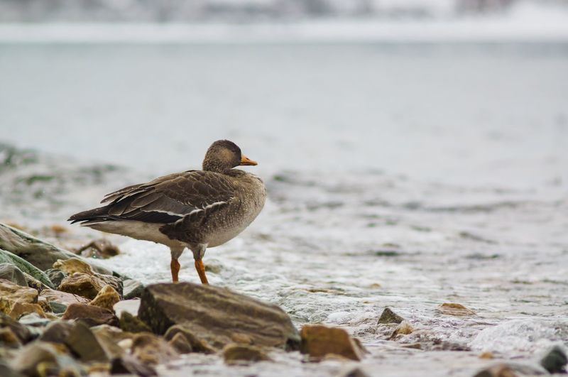 Close-up of goose on beach